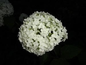 夕暮れの紫陽花②