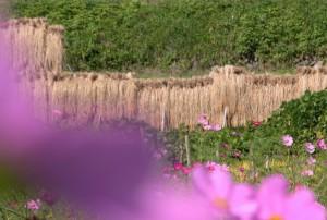 収穫・明日香秋風景