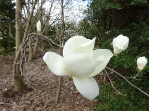 白木蓮の花