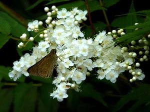 セセリンと白い花未