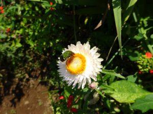 花粉まみれの黄金虫
