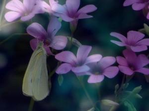 ムラサキカタバミと蝶