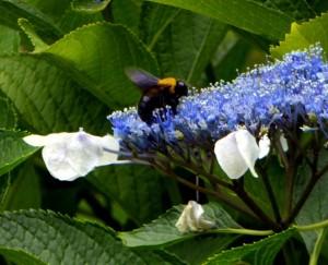 紫陽花とクマちゃん