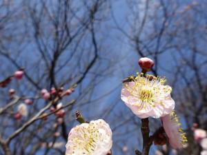 筑波大の梅花