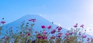 コスモスのおしゃべりは富士山賛美