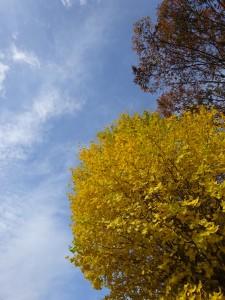 晩秋の銀杏