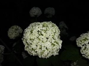夕暮れの紫陽花①