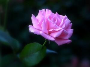 殿堂入りのバラ