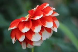 紅白の花びら