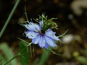 昭和記念公園の花①